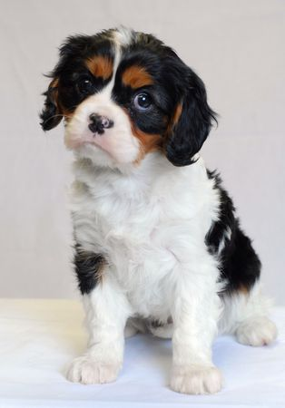 conformation: tri color cavalier king charles puppy - champion lines