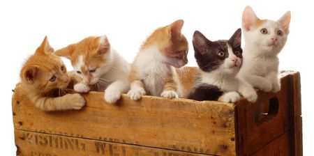 weeks: litter of five kittens in a wooden box - seven weeks old