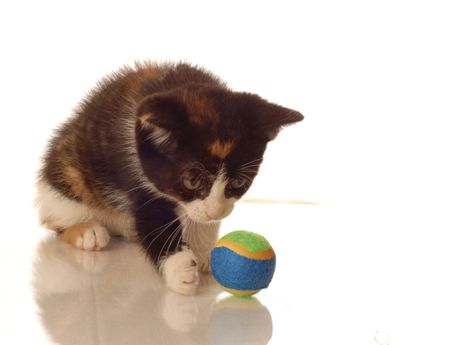 calico whiskers: calico kitten playing with a ball - seven weeks old