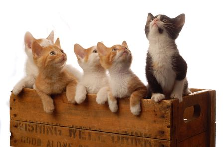 calico whiskers: litter of five kittens in a wooden box - seven weeks old