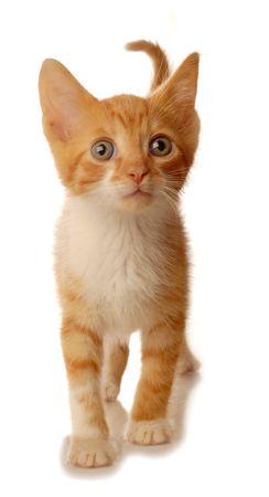 cat grooming: orange tabby kitten walking - isolated on white background Stock Photo