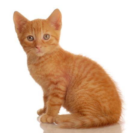 portrait of orange tabby kitten sitting - seven weeks old Stock Photo