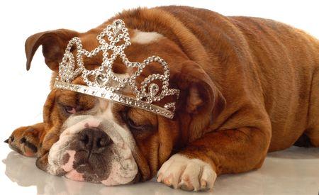 english bulldog wearing princess crown and silly expression  photo