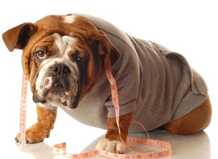 tape player: english bulldog wearing workout gear and tape measure around neck Stock Photo