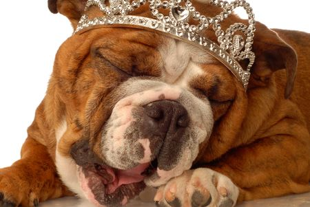 english bulldog wearing princess crown and silly expression Stock Photo - 3464780