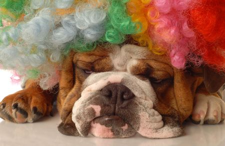 bloodlines: english bulldog with colorful clown wig and silly expression Stock Photo