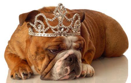 conformation: Ingl�s bulldog llevar corona y tonta princesa de expresi�n