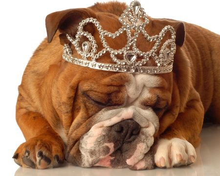 conformation: english bulldog wearing princess crown and silly expression