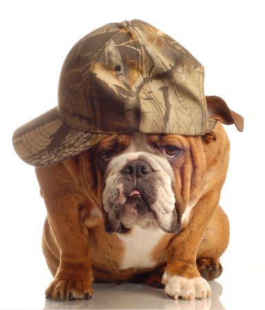 conformation: Ingl�s bulldog uso de gorra de caza y tonto expresi�n  Foto de archivo