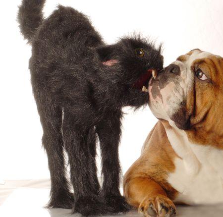 english bulldog and scary black cat isolated on white background photo