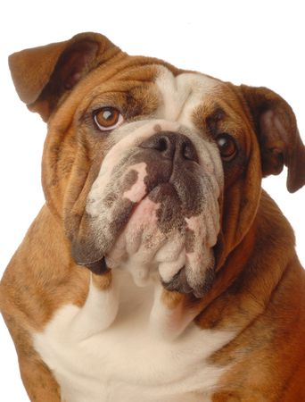 bloodlines: red brindle english bulldog female - one year old - champion bloodlines