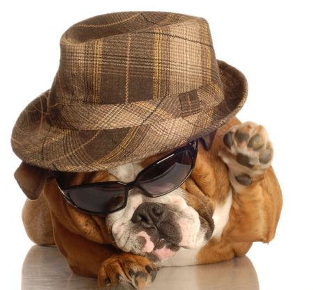 shades: bulldog dressed up like gangster with hat and sunglasses Stock Photo