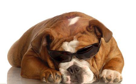 conformation: Ingl�s bulldog llevar gafas de sol oscuras - aisladas en blanco Foto de archivo