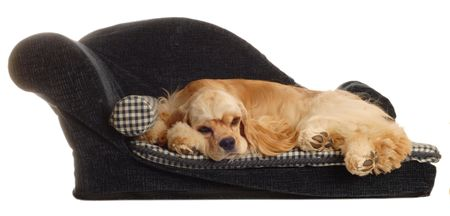 conformation: cocker spaniel sleeping on dog bed isolated on white background Stock Photo