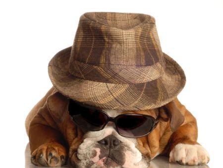 conformation: bulldog vestido como gangster con sombrero fedora y gafas de sol