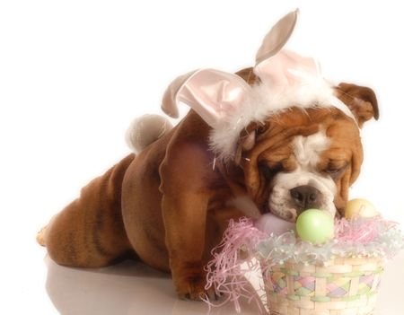 english bulldog dressed up as the easter bunny photo