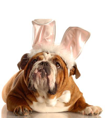 wit konijn: Engels bulldog gekleed omhoog als Pasen bunny
