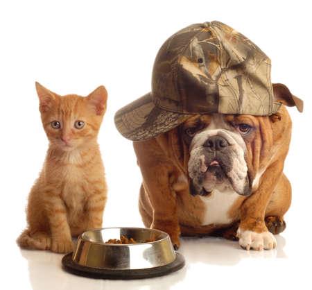 calico cat: english bulldog and orange  kitten sitting at food dish
