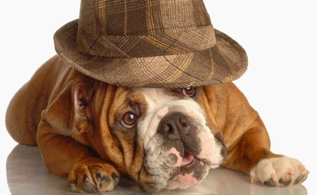english bulldog wearing plaid fedora isolated on white background photo
