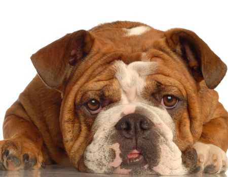 stocky: red brindle english bulldog making a funny face - one year old female - champion bloodlines Stock Photo