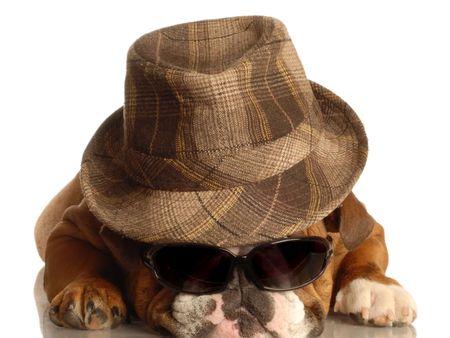 conformation: english bulldog wearing fedora and dark sunglasses