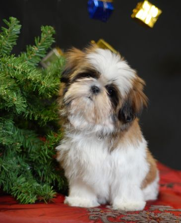 shih: shih tzu puppy sitting beside christmas tree Stock Photo