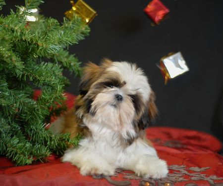 shih tzu puppy lying under a christmas tree photo