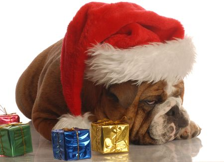 humbug: english bulldog with christmas presents and scrooge expression