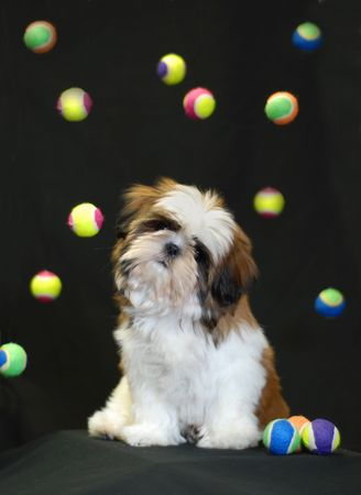 shih tzu puppy sitting with colorful tennis balls floating around her head photo