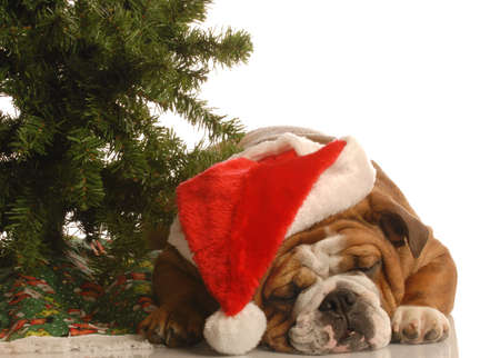 english bulldog wearing santa hat sleeping under christmas tree Stock Photo
