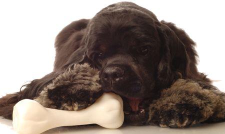 american cocker spaniel chewing on dog bone