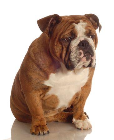 bajo y fornido: rojo abigarrado Ingl�s bulldog sesi�n aisladas sobre fondo blanco