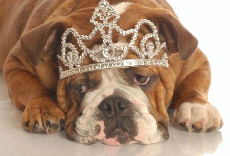 english bulldog wearing diamond studded tiara isolated on white background photo