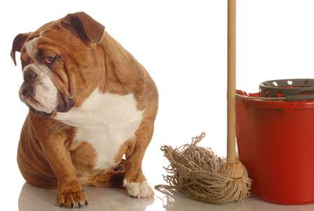 pee pee: bulldog seduta accanto a scopa e secchio - concetto di cane � rotto casa