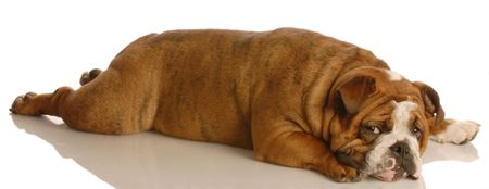 brindle: red brindle english bulldog stretched out lying down Stock Photo
