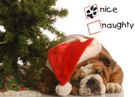 naughty or nice: naughty or nice english bulldog wearing santa hat under christmas tree Stock Photo