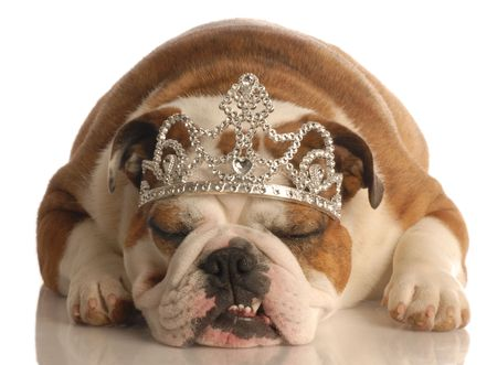 conformation: english bulldog wearing princess crown or tiara isolated on white background