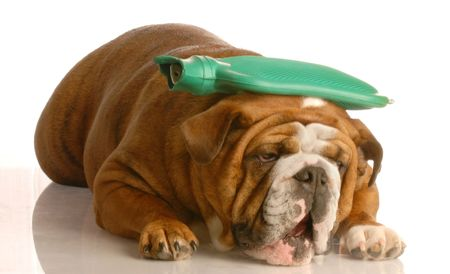 get well: english bulldog with green hot water bottle on head - suffer a migraine Stock Photo
