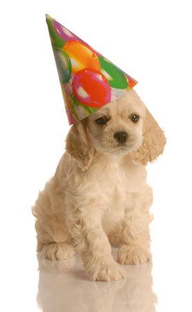 american cocker spaniel puppy wearing cute birthday hat Stock Photo
