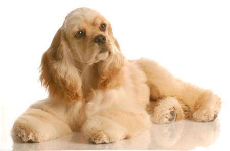 american cocker spaniel laying down  - six months old