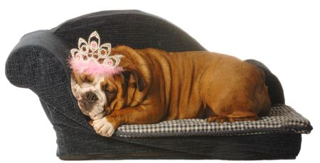 english bulldog lying in dog bed with tiara isolated on white photo