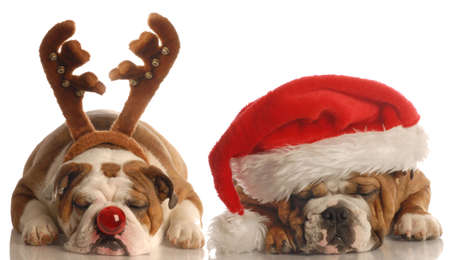 english bulldog - one dressed up as santa the other as rudolph Stock Photo
