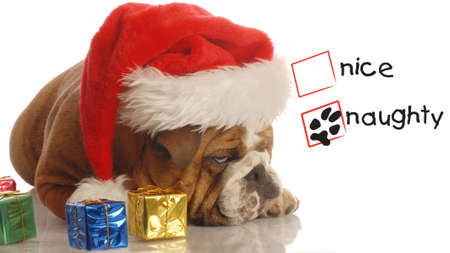 humbug: naughty english bulldog with christmas presents and scrooge expression