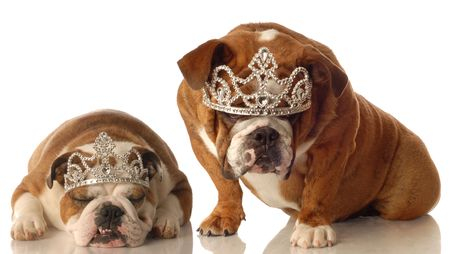 two english bulldogs wearing tiara isolated on white background photo