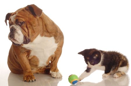 calico: english bulldog ignoring kitten playing with ball beside her