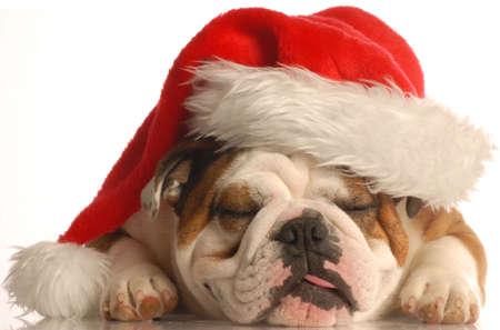 english bulldog wearing santa hat with tongue sticking out Stock Photo