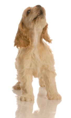 american cocker spaniel puppy howling isolated on white background Stock Photo - 3798620