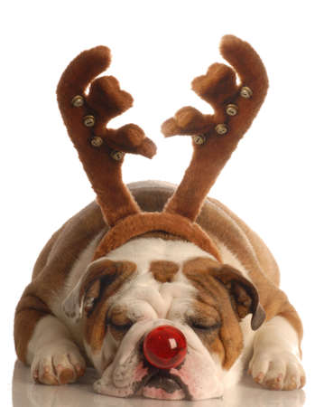 rudolph: english bulldog dressed as rudolph the red nosed reindeer