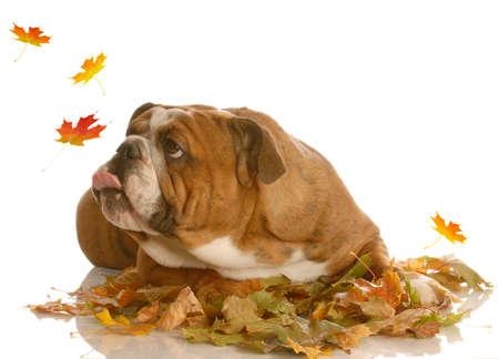 bajo y fornido: Ingl�s bulldog tratando de atrapar las hojas de oto�o Foto de archivo