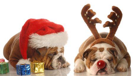 humbug: bulldogs dressed up as santa and rudolph - upset santa
